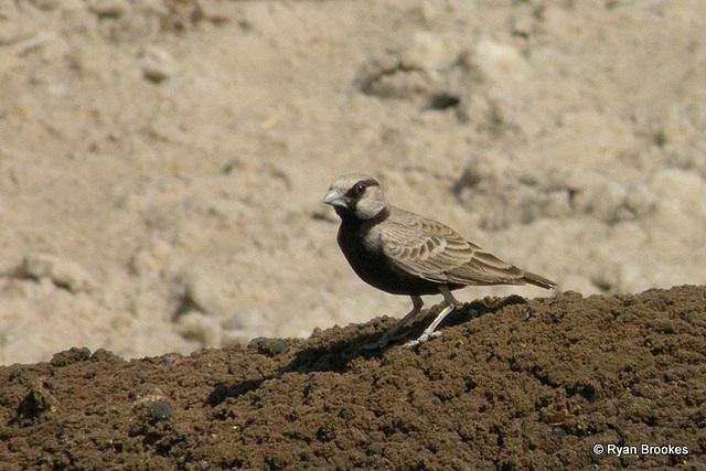 20100223-1617 Ashy-crowned sparrow-lark