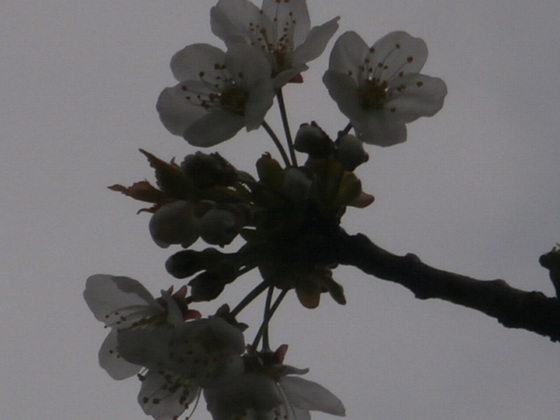 Flowering cherry blossom has started to bloom on the trees