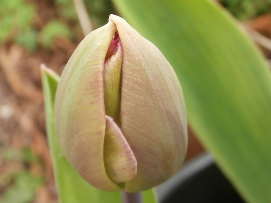 A new tulip will soon open