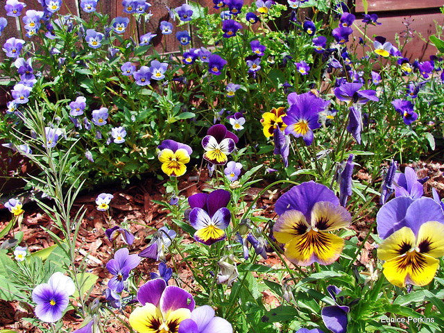 Pansy show