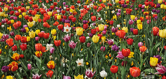 Spring is Tulip time.