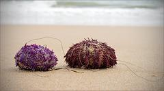 Namoro? Echinoidea, ouriços-do-mar, bolachas-do-mar