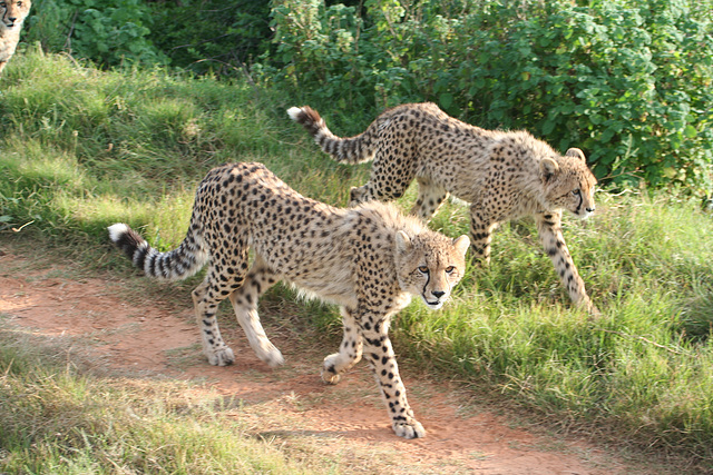 Young Cheetahs out for a walk.