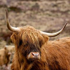 """Muckle Coo""  -  Isle of Skye"