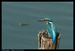 Martin pêcheur DSC07813