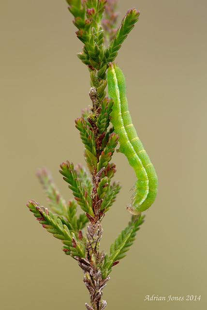 Noctuid Moth larva