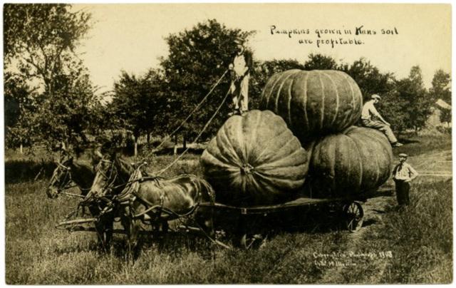 Pumpkins Grown in Kansas Soil Are Profitable