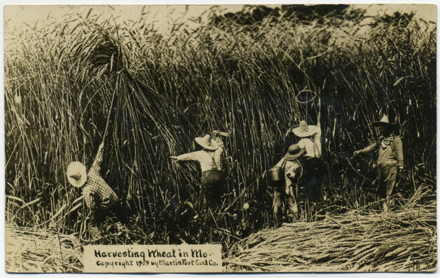 Harvesting Wheat in Missouri