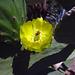 Bee in cactus flower (2140)