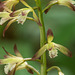 Aplectrum hyemale (Puttyroot orchid, Adam-and-Eve orchid)