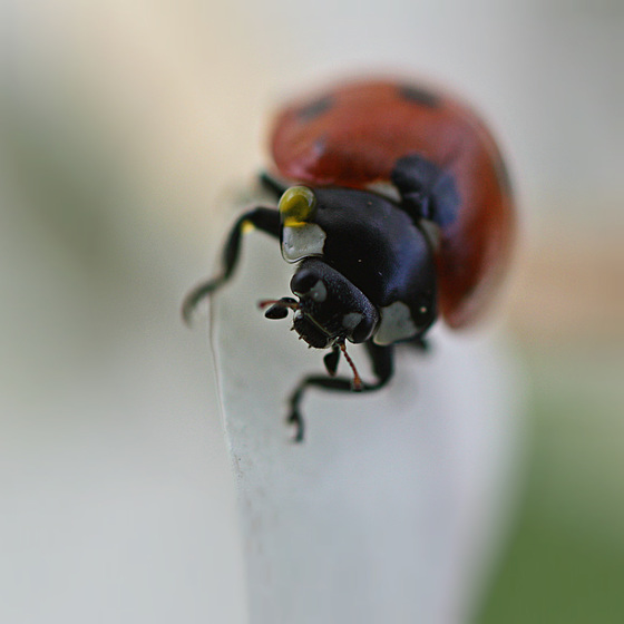 IMG 0431 ladybird, ladybird
