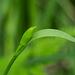 Cleistesiopsis bifaria (Small Spreading Pogonia orchid) aka Cleistes bifaria
