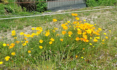 Californian Poppies growing wild