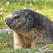 Verschlafener Murmel / Sleepy Marmot / être surveillés Marmot