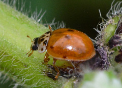 10-Spot Ladybird, Adalia 10-puncatata