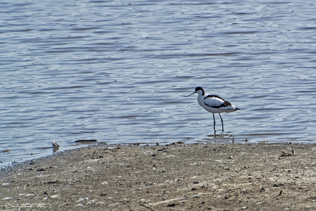 Avoceta común. - Recurvirostra avosetta.