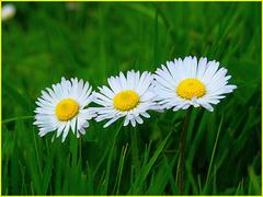 Boutonnière de pâquerettes / Buttonhole of daisies [ON EXPLORE]