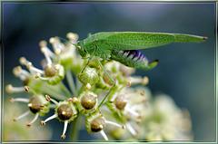 Grüne Heupferd (Tettigonia viridissima) ©UdoSm