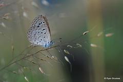 20101127-0099 Lesser Grass Blue