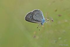 20101127-0129 Lesser Grass Blue