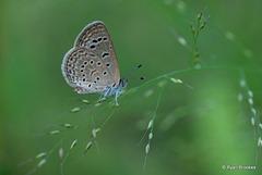 20101127-0143 Lesser Grass Blue