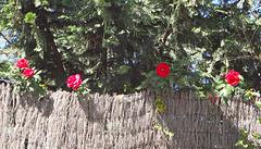 Rosas curiosonas