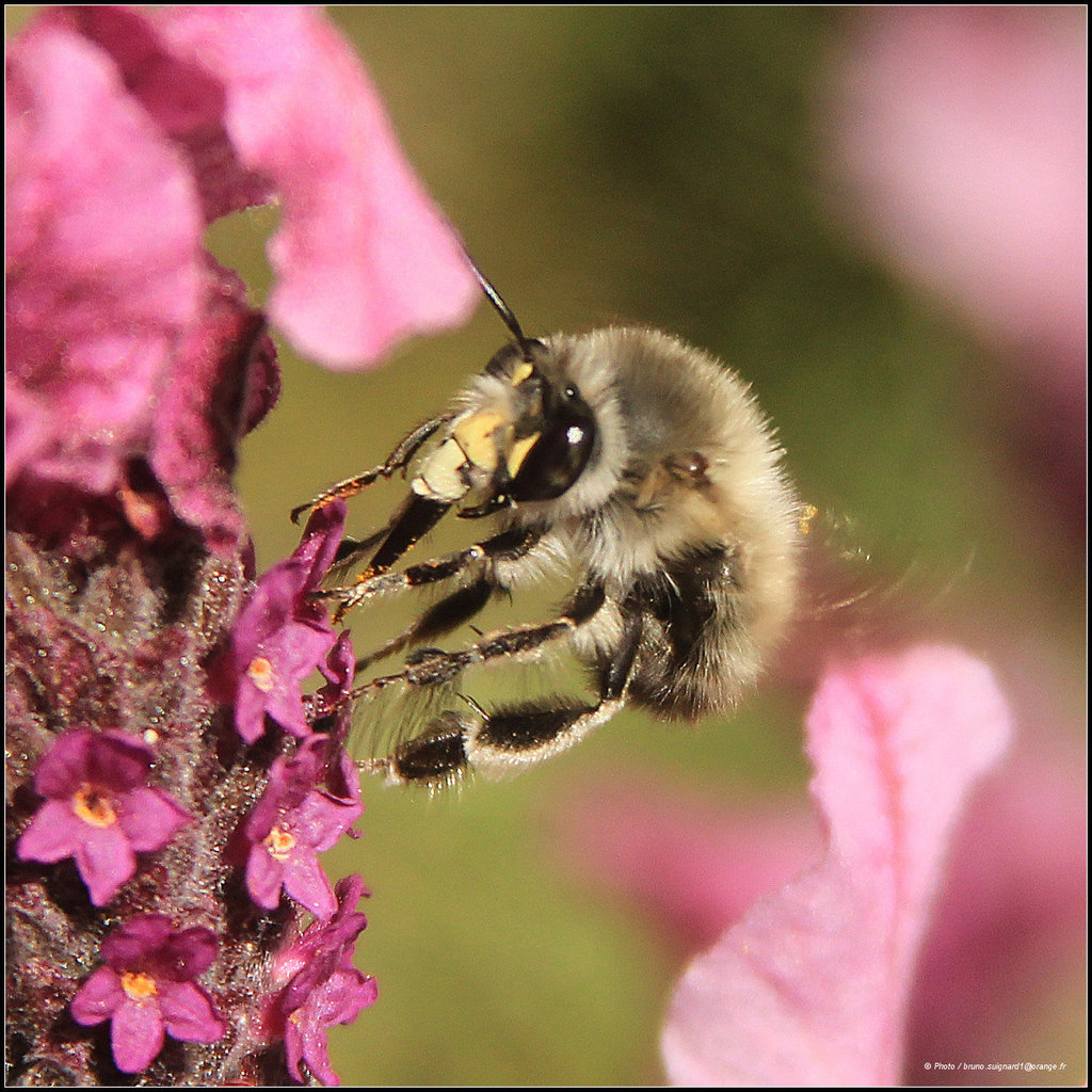 """""""Anthophora""""Grey bee"""