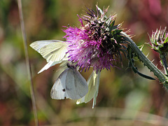 White Butterflies on Thistle Flower