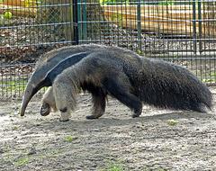 Giant anteater - Grote miereneter - Tamanoir ou fourmilier géant - Grosser Ameisenbär