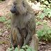 Babouin du Parc national d'Arusha
