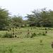 Troupe de babouins