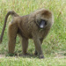 Babouin de Tanzanie