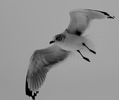 Ring-billed gull in Central Park, New York City