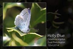 Holly Blue - East Blatchington - 19.4.2014