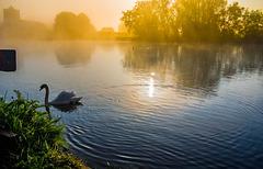 Swan in Mist-1