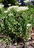 Passerage drave -Lepidium draba (3)