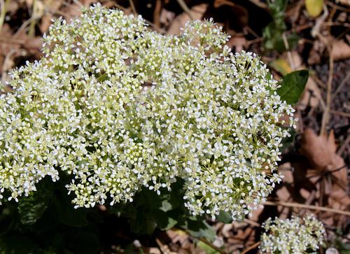 Passerage drave -Lepidium draba (5)