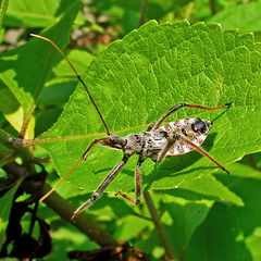 Probably a Late Instar Assassin Bug Nymph