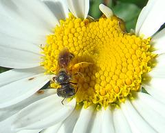 Bee on shasta daisy