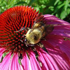 Bumblebee on coneflower