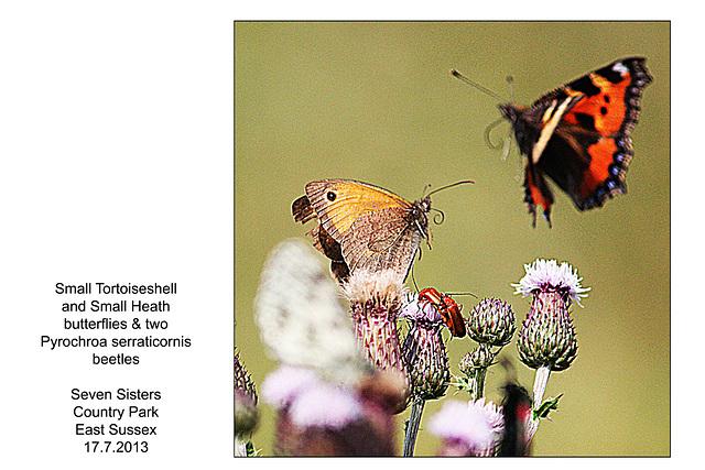 Butterflies & beetles -  Seven Sisters Country Park - 17.7.2013