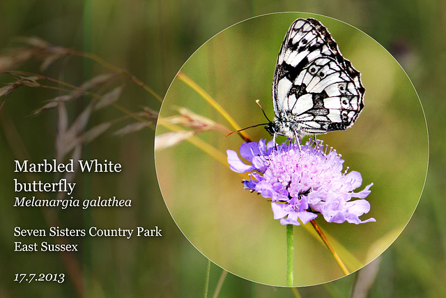 Marbled White on a Scabius -  Seven Sisters Country Park - 17.7.2013