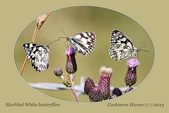 Marbled Whites  -  Seven Sisters Country Park - 17.7.2013