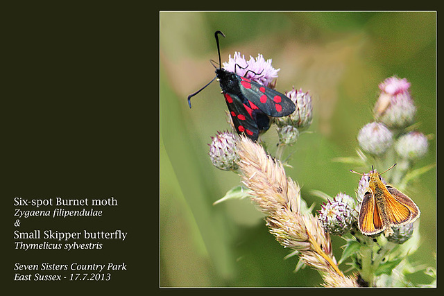 Six spot Burnet & Small Skipper -  Seven Sisters Country Park - 17.7.2013