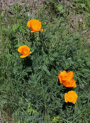 Eschscholzia californica (3)