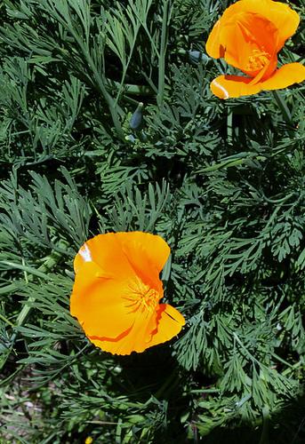 Eschscholzia californica (4)