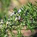 Bumblebee on Rosemary