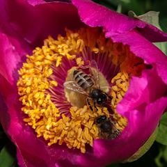 BESANCON: Jardin Botanique: Deux abeilles sur une pivoine    ( Paeonia suffruticosa ) 02.
