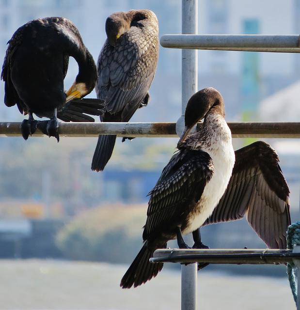 cormorants , thames, london