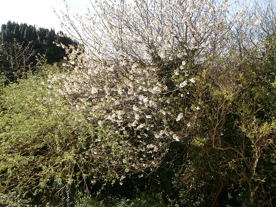 Looking towards the west, and the blossom tree